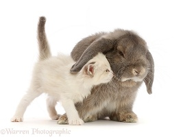 Grey Lop bunny and colourpoint kitten