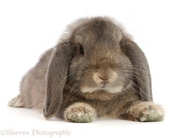 Grey Lop bunny lounging stretched out
