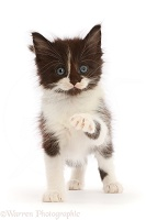 Black-and-white kitten pointing a paw