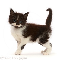 Black-and-white kitten standing