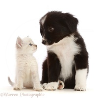 Black-and-white Mini American Shepherd puppy and kitten
