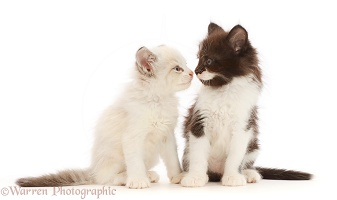 Black-and-white and colourpoint kittens nose-to-nose
