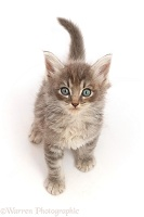 Tabby kitten, sitting looking up