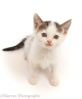 Tabby-and-white kitten, sitting looking up