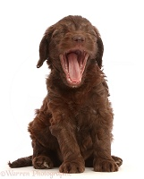 Chocolate Sproodle puppy yawning