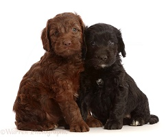 Chocolate and black Sproodle puppies
