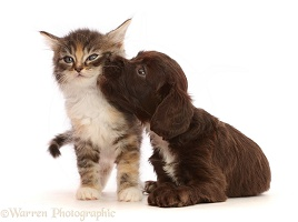 Chocolate Sproodle puppy and Tabby Tortoiseshell kitten