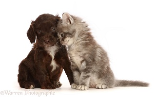 Chocolate Sproodle puppy and Tabby kitten