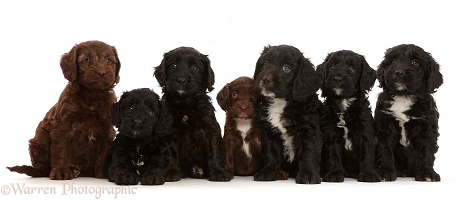 Seven Black and Chocolate Sproodle puppies