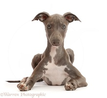 Blue Italian Greyhound puppy, 4 months old