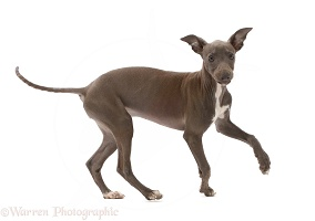 Blue Italian Greyhound puppy, 4 months old, turning