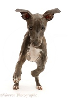 Blue Italian Greyhound puppy, 4 months old, running