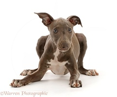 Perky looking Blue Italian Greyhound puppy, 4 months old