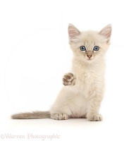Blue point kitten, sitting and pointing a paw
