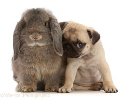 Fawn Pug puppy, 8 weeks old, and grey Lop bunny