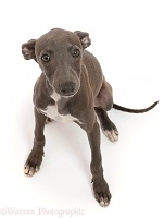 Blue Italian Greyhound puppy, 4 months old, sitting looking up