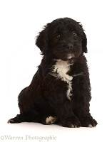 Black-and-white Sproodle puppy