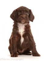 Chocolate Sproodle puppy