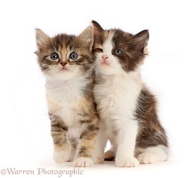 Calico and Tortie-Tabby kittens