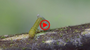 Brimstone Butterfly caterpillar hatching from egg time lapse