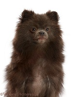 Dark grey Pomeranian