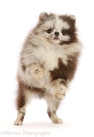 Merle Pomeranian puppy, jumping up