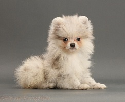 Pale Merle Pomeranian puppy on grey background