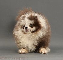 Merle Pomeranian puppy on grey background