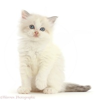 Persian-x-Ragdoll kitten, 7 weeks old