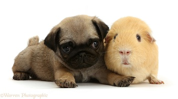 Pug puppy yellow Guinea pig