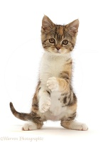 Tortoiseshell-tabby kitten sitting with paws up