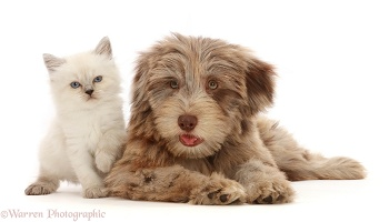 Chocolate merle Cockapoo pup and Persian-x-Ragdoll kitten