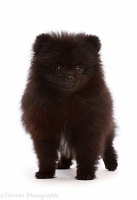 Black Pomeranian puppy, 10 weeks old