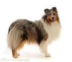 Rough Collie lying standing