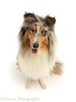 Rough Collie lying sitting
