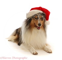 Rough Collie wearing a Santa hat