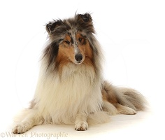 Rough Collie lying with head up