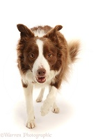 Chocolate-and-white Border Collie, 5 years old, walking