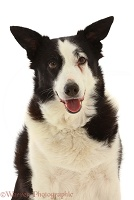 Black-and-white Border Collie x Lurcher, 10 years old