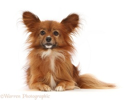 Paperanian (Pom x Papillon), 7 years old
