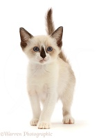 Persian-x-Ragdoll kitten, 7 weeks old, walking