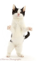 Black-and-white kitten standing up on hind legs and reaching