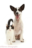 Chocolate-and-white Jack Russell Terrier and kitten