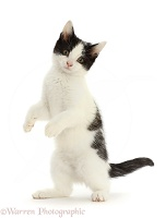 Black-and-white kitten standing up on hind legs