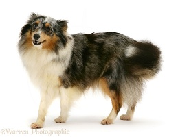Sheltie, turning