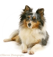 Sheltie, lying with head up