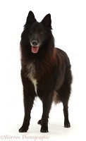Black Belgian Shepherd Dog (Groenendael)