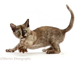 Playful Tortoiseshell Burmese kitten looking back