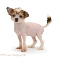Naked Chinese Crested puppy