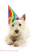 Westie wearing a birthday hat